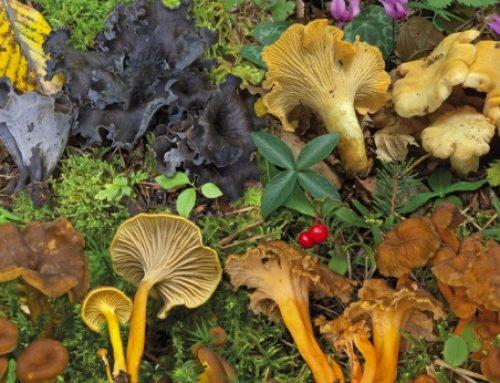 I funghi, meraviglie e delizie della natura: la Rassegna dei Ristoratori Bassanesi